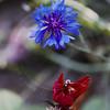 Cornflower and Cardinal Flower (Centaurea cyanus and Lobelia cardinalis)
