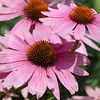 Purple Coneflower (Echinacea angustifolia)