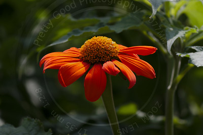 Mexican Sunflower (Tithonia diversifolia)