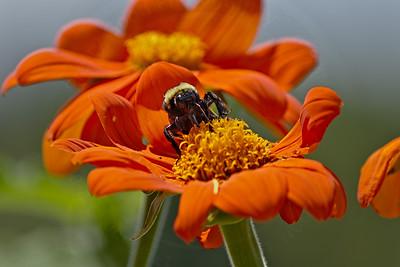 Honey Bee Mugshot I