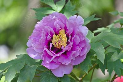 Rhodadendron