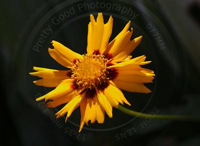 Tickweed (Coreopsis)