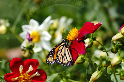 Monarch and Cosmos