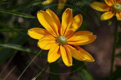 Lanceleaf Tickseed (Coreopsis lancelota)