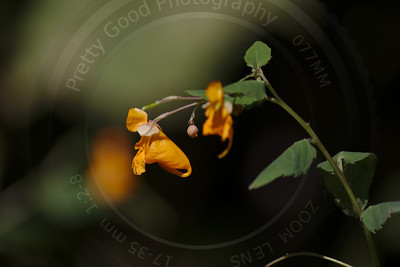 Touch Me Not (Impatiens capensis)