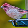 Purple Finch, backyard feeders, Ballston Lake, NY