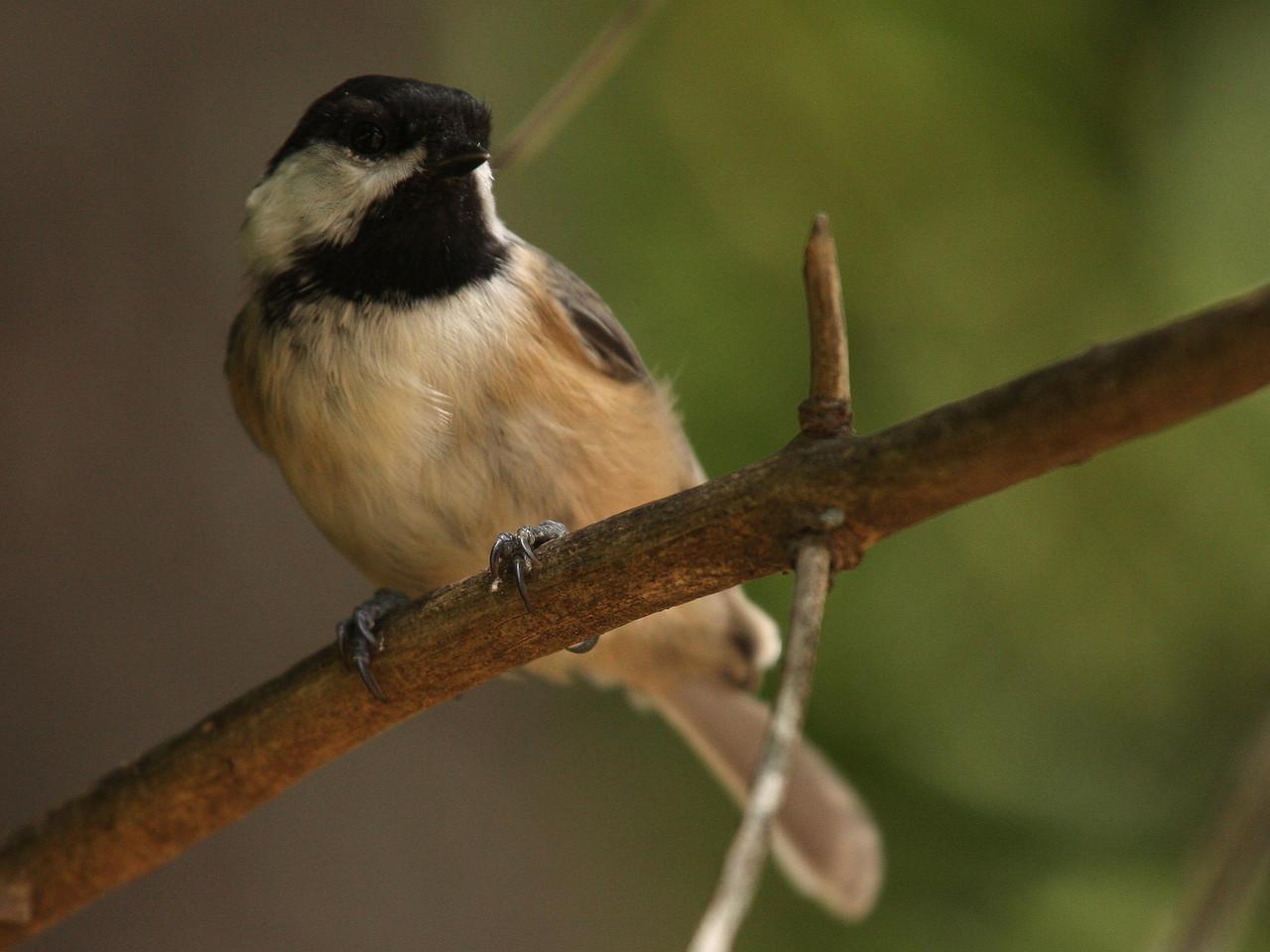 IMG4_13764 Chickadee bird DPPtrm
