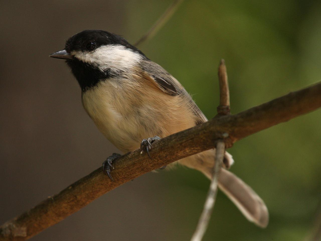 IMG4_13765 Chickadee bird DPPtrm