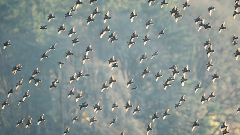 Flock Formation