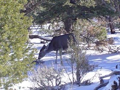Deer near Rim Trail walk,Dec. 2002....Grandcanyon,Az.