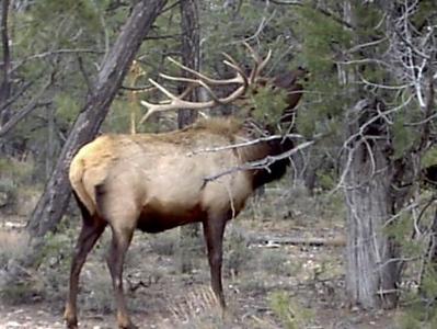Elk near roadway, Grandcanyon,Arizon