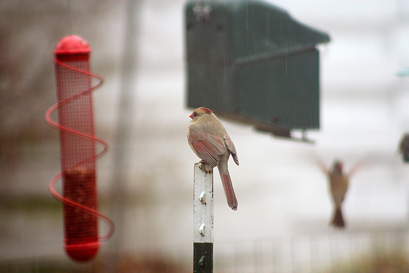 Female cardinal aware of an incoming competitor is getting ready to claim her place on the sunflower feeder (not the one in the background but to the right of it).  Dec. 23, 2008