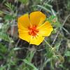 Arizona caltrop, Kallstroemia grandiflora