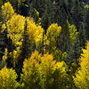 Backlit aspen on a mountainside near Mogollon, NM.