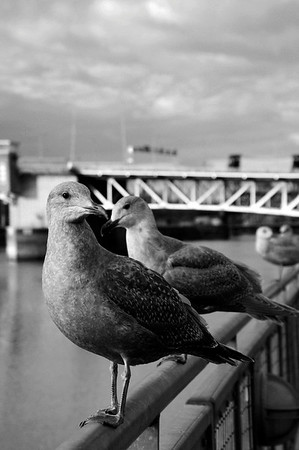 Seagulls gather on waterfront in downtown portland oregon