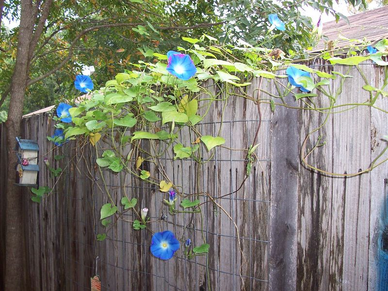 Morning Glories.