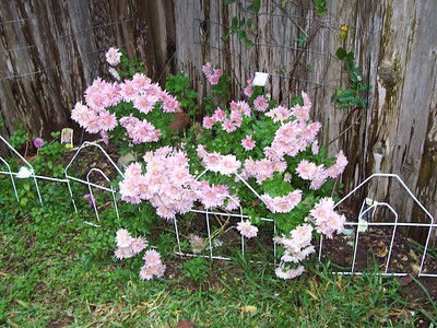 Backyard Chysanthemums.
