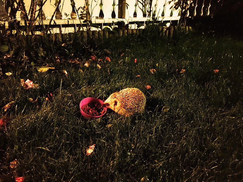 A Hedgehog Enjoying Some Snacks In The Backyard 🦔