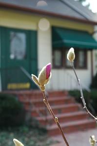 ping magnolia front yard