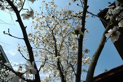 white magnolia back yard
