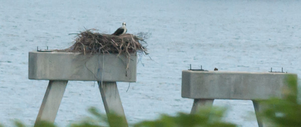Here is a closer view which isn't tack sharp (give me a break, Linda was doing at least 65), but it does give some clue as to its type.  My guess at this time is that the bird is an Osprey which ironically is a bird I've been trying to track down for years to add to my photo collection.  According to my National Geographic Complete Birds of North America guide, the Osprey builds a large stick nest increasingly on man-made structures like channel markers, telephone poles and cell towers.  It think that is a check!  This is definitely my favorite Phoadtography shot from the entire trip.