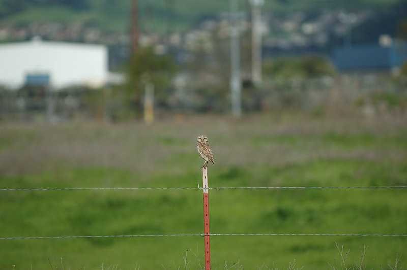 Burrowing Owl sitting on fence post near parking lot at Sybase in Dublin, California, on April 17, 2006.
