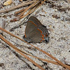 Red-banded Hairstreak, Idylwild, MD