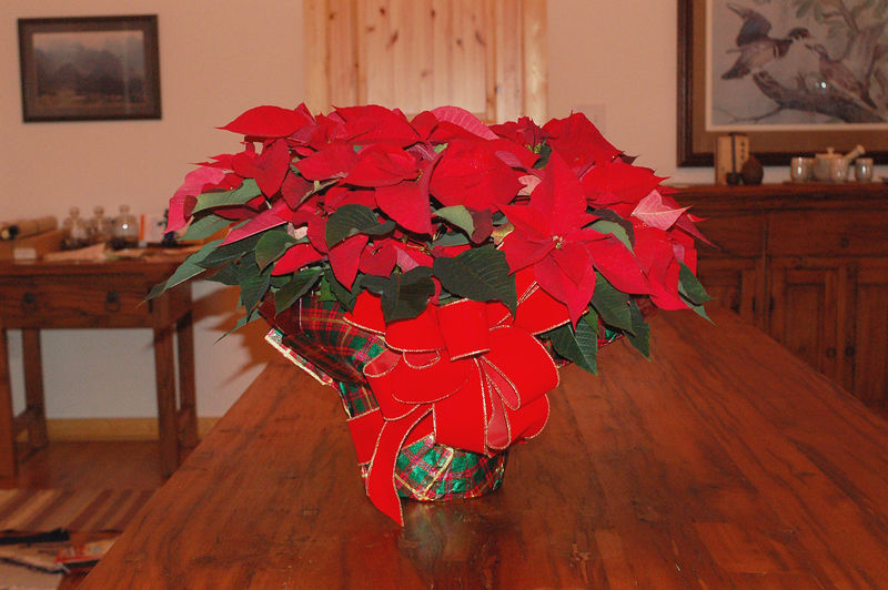 Poinsettia received as XMAS gift from Ann and Dick Oberer