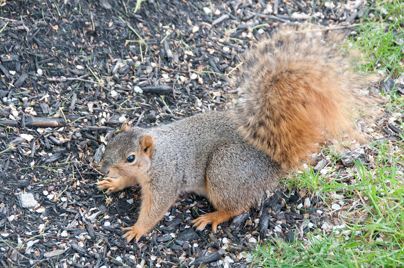 Not-so-wild squirrel at Lockfield Gardens, Indianapolis