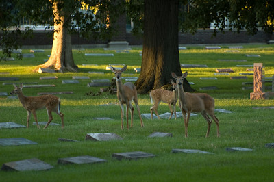 Small herd of deer at Crown Hill Cemetery