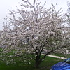 2nd  view of the apple tree 2017