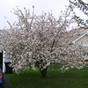 Apple tree 2017