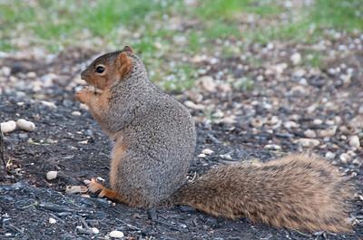 Not-so-wild squirrel at Lockfield Gardens, Indianapolis