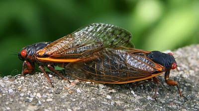 Cicadas at Lake Geneva Wisconsin - 2007