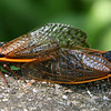Cicadas at Lake Geneva Wisconsin - 2007