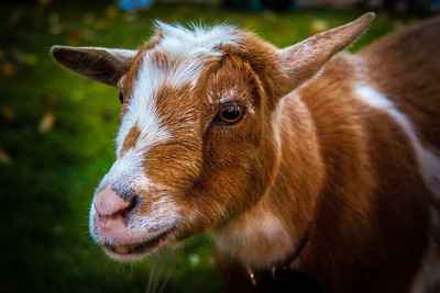 Part of a petting zoo is this goat during First Friday event on Friday, October 5, 2012 on the public square in Mount Vernon, Ohio.
