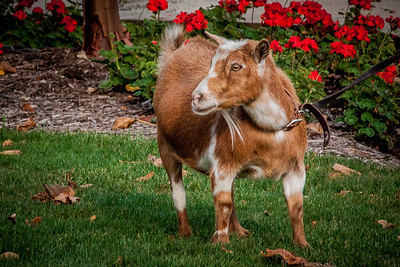 Photo of a goat at First Friday event on September 7, 2012 in downtown Mount Vernon, Ohio.