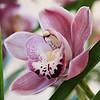 5 March 2010<br /> Orchid Show - US Botanic Garden, Washington, DC