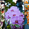 "5 March 2010<br /> Orchid Show - US Botanic Garden, Washington, DC<br /> Left: Beallara - Tropical Splendor - ""Golden Gate""<br /> Center: Phalaenopsis <br /> Right: Dendrobium Farmeri (Himalayas, Burma, Thailand, Malaysia)"