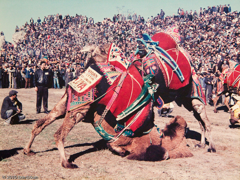 20 April 2010<br /> İzmir Ethnography Museum<br /> It is believed that camel wrestling was introduced into Turkish folk life when camel caravans traveling from the east came through Asia Minor.