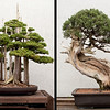 3 April 2010<br /> US National Arboretum - Bonsai Exhibit<br /> Left: Foemina Juniper - in training since 1953.<br /> Right: California Juniper - in training since 1964.