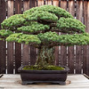 3 April 2010<br /> US National Arboretum - Bonsai Exhibit<br /> Japanese White Pine - in training since 1625