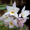 5 March 2010<br /> Orchid Show - US Botanic Garden, Washington, DC<br /> Jackfowlieara Appleblossom