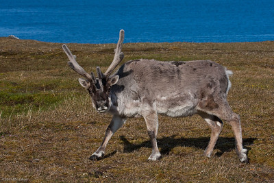 Arctic Expedition Cruising - Tromso to Svalbard - Silver Explorer (Silver Expeditions) Isfjorden - Alkhornet (Svalbard Reindeer) 12 July 2011