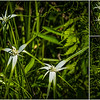Gulf State Park: Hugh S. Branyon Backcountry Trail walk - white-topped sedge on the Rosemary Dunes trail.<br /> Orange Beach, AL - 5 May 2013