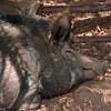 Ossabaw Hog taking a mid-morning nap.