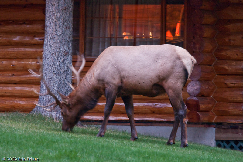 A bulk elk comes to dinner at Alpine Village.