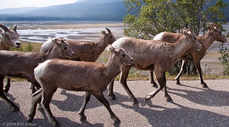 Bighorn Sheep Parade at Medicine Lake