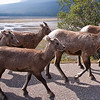 Bighorn Sheep Parade at Medicine Lake