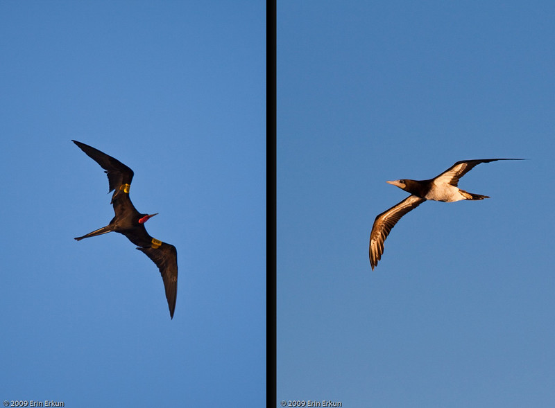 Mercury Cruise - R/T from Baltimore - November 30-December 12<br /> Magnificent Frigatebird (male) left and Brown Booby - St Kitts